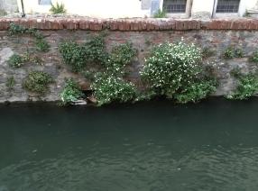 Ducks hiding in Lucca