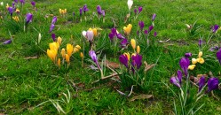 Crocuses in Russell Square